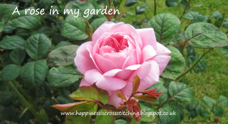 Roses in my garden Lynn B